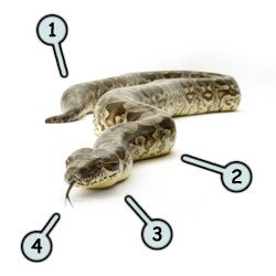 How to draw cartoon snakes step 1
