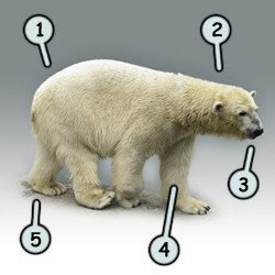 How to draw a cartoon polar bear step 1