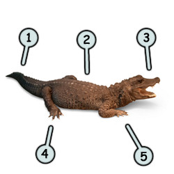 how-to-draw-a-crocodile step 1