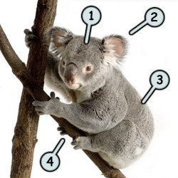 How to draw a koala step 1