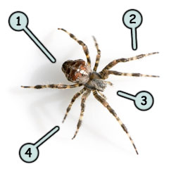 How to draw a spider step 1