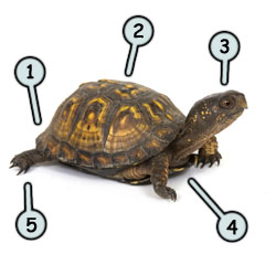 How to draw a turtle step 1