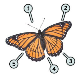 How to draw a cartoon butterfly step-1