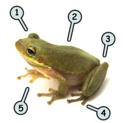 How to draw cartoon frogs step 1