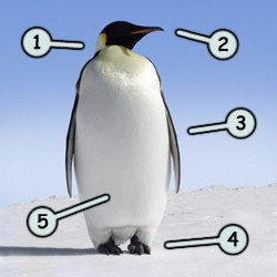How to draw cartoon penguins step 1