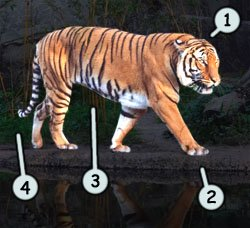 How to draw cartoon tigers step 1